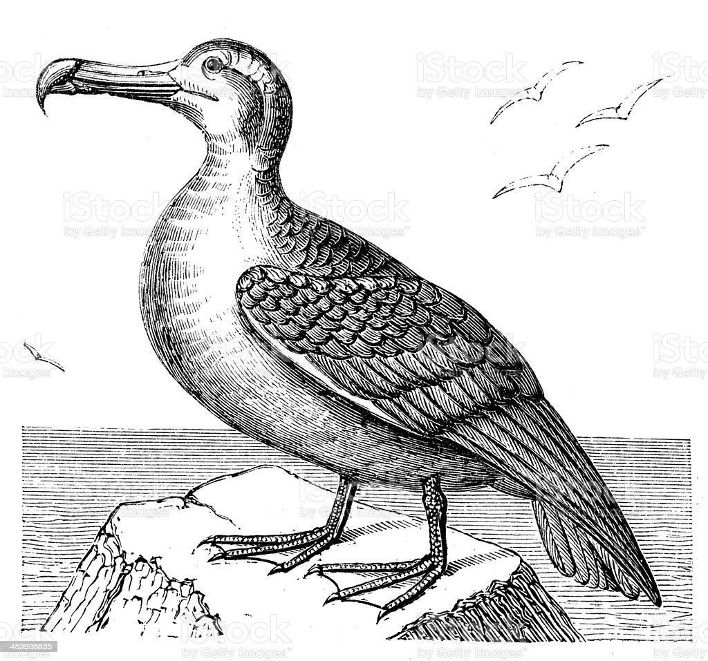 Antique illustration of Albatross vector art illustration