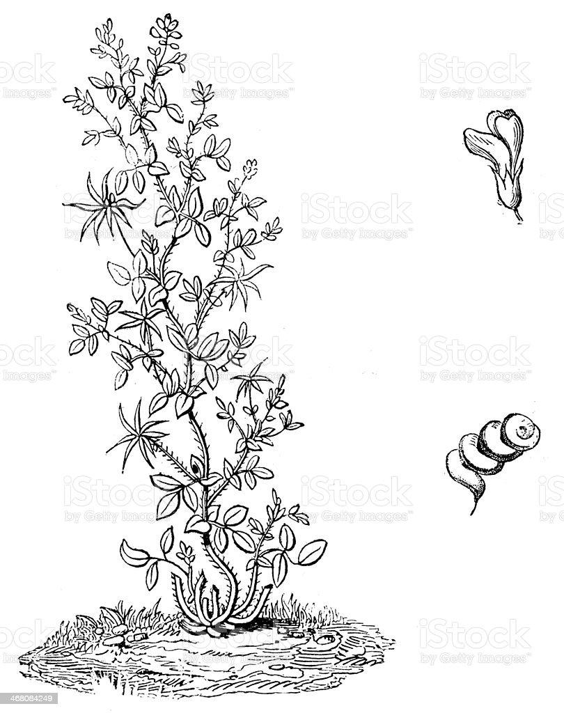 Antique illustration of Alfalfa, Medicago sativa, lucerne vector art illustration
