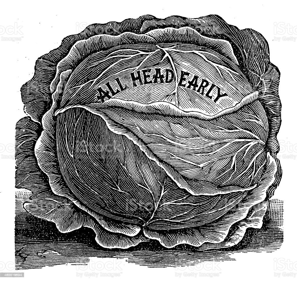 Antique illustration of 'all head early' cabbage vector art illustration