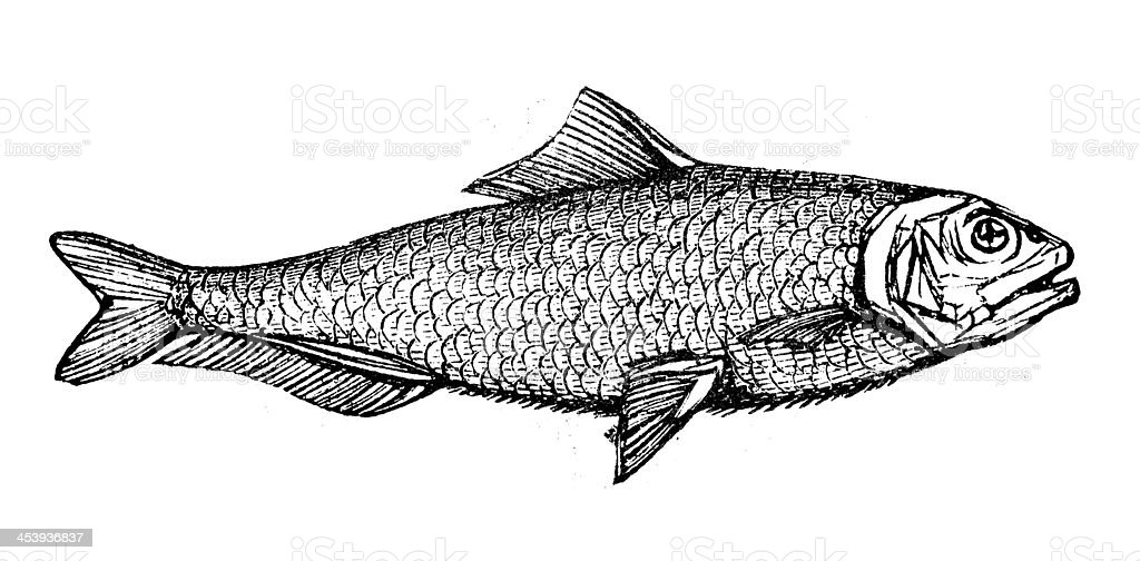 Antique illustration of allis shad (Alosa alosa) vector art illustration