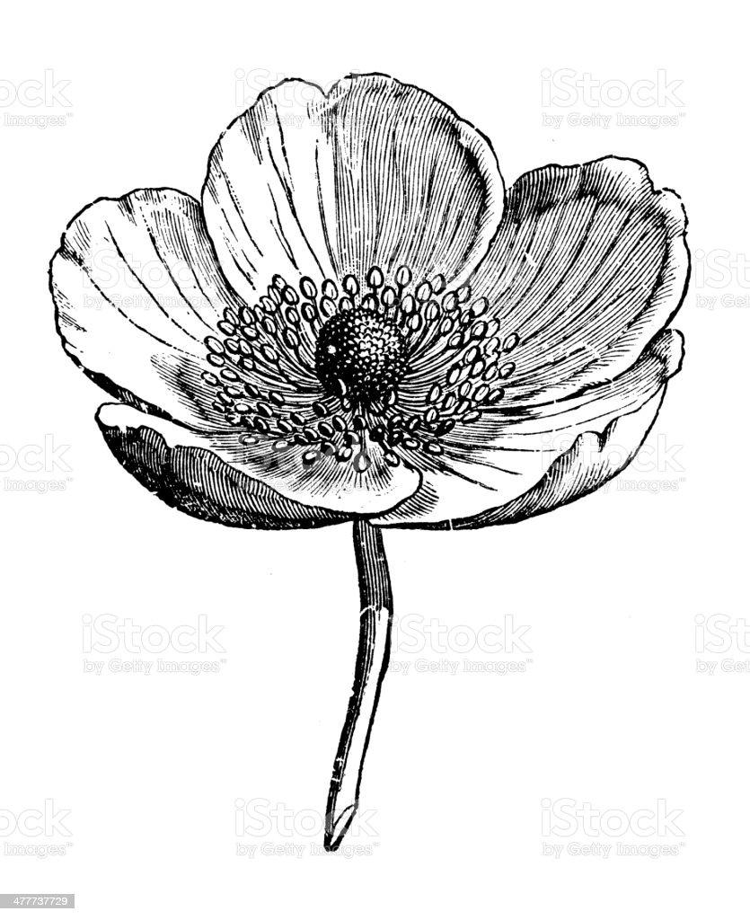 Antique illustration of Anemone vector art illustration