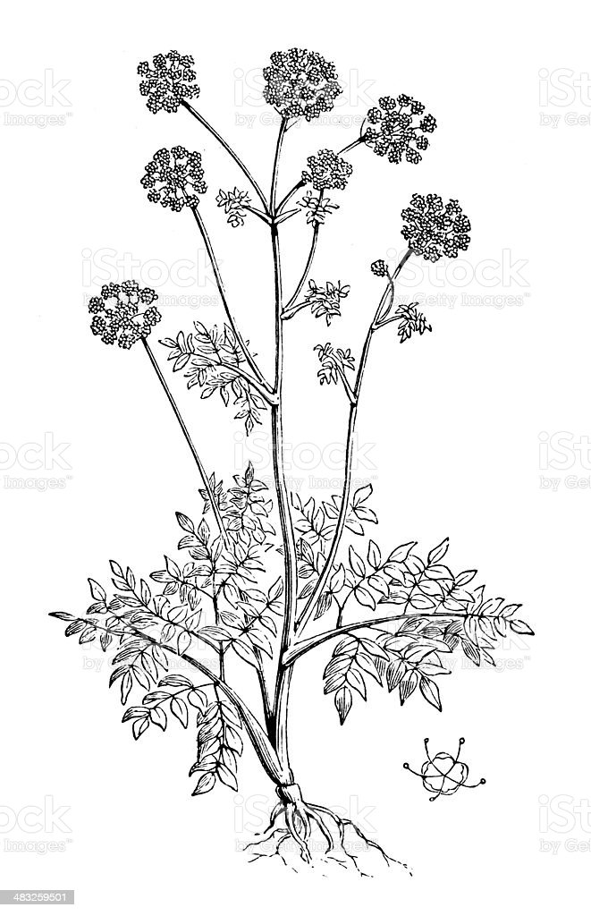 Antique illustration of Angelica archangelica (Garden Angelica, Holy Ghost) royalty-free stock vector art
