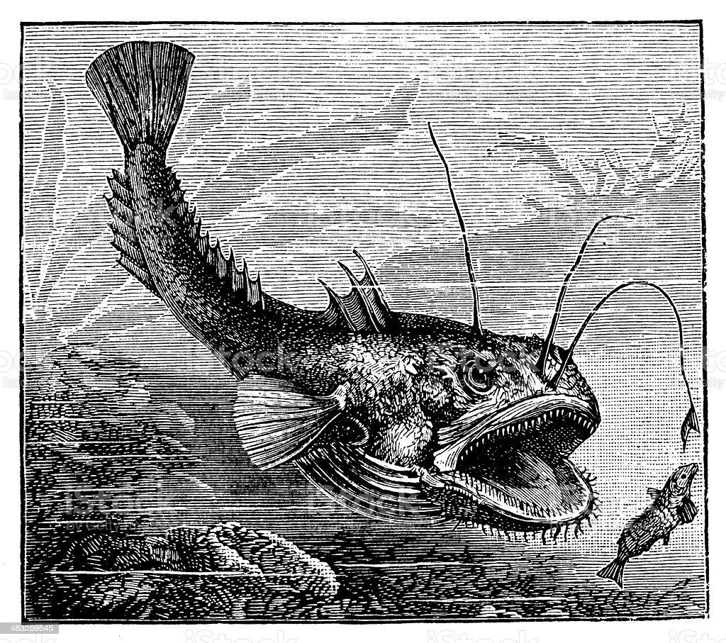 Antique illustration of angler (Lophius piscatorius) vector art illustration