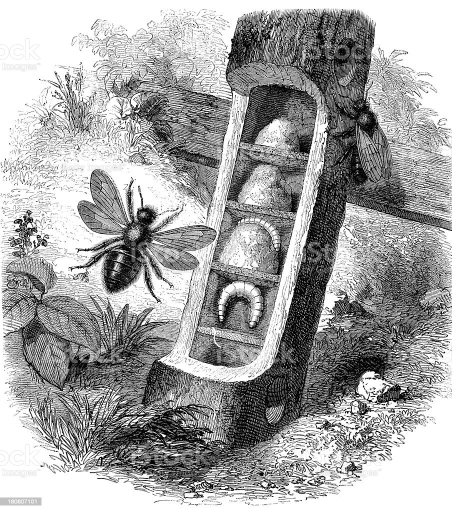 Antique illustration of Apis Violacea or Xylocopa Violace vector art illustration