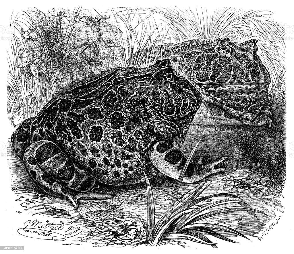 Antique illustration of Argentine Horned Frog (Ceratophrys ornata) vector art illustration
