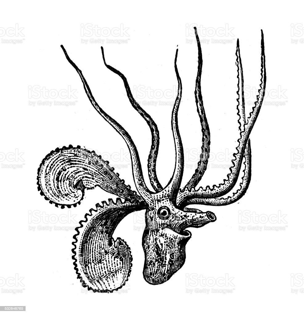 Antique illustration of Argonauta argo (greater argonaut) vector art illustration