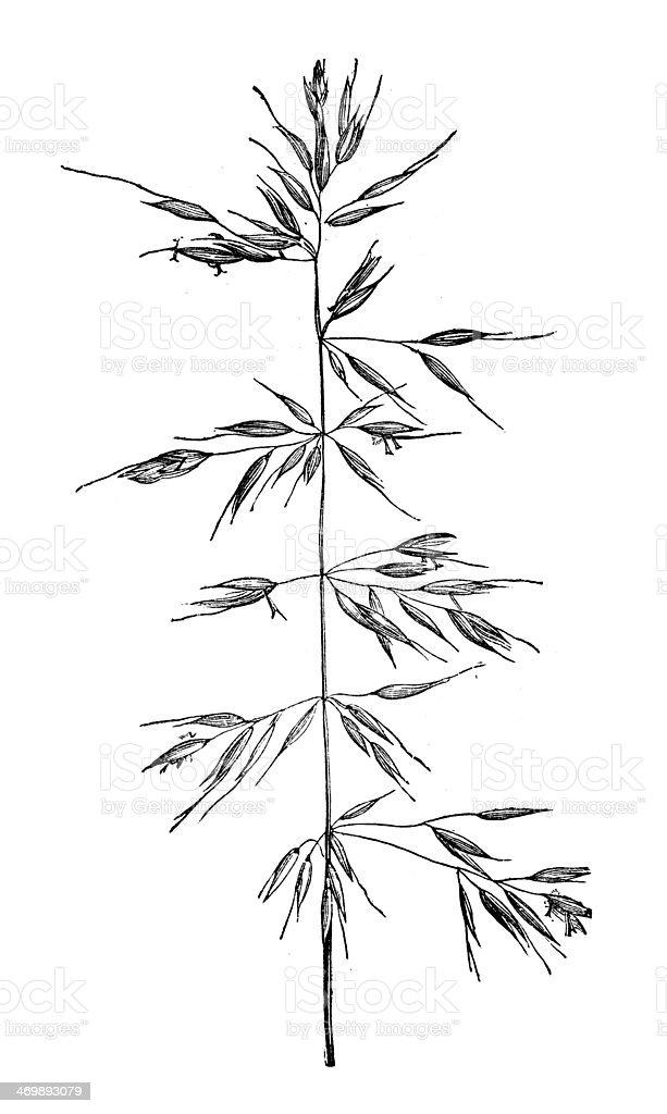Antique illustration of Arrhenatherum elatius (false oat-grass, tall oat-grass) vector art illustration