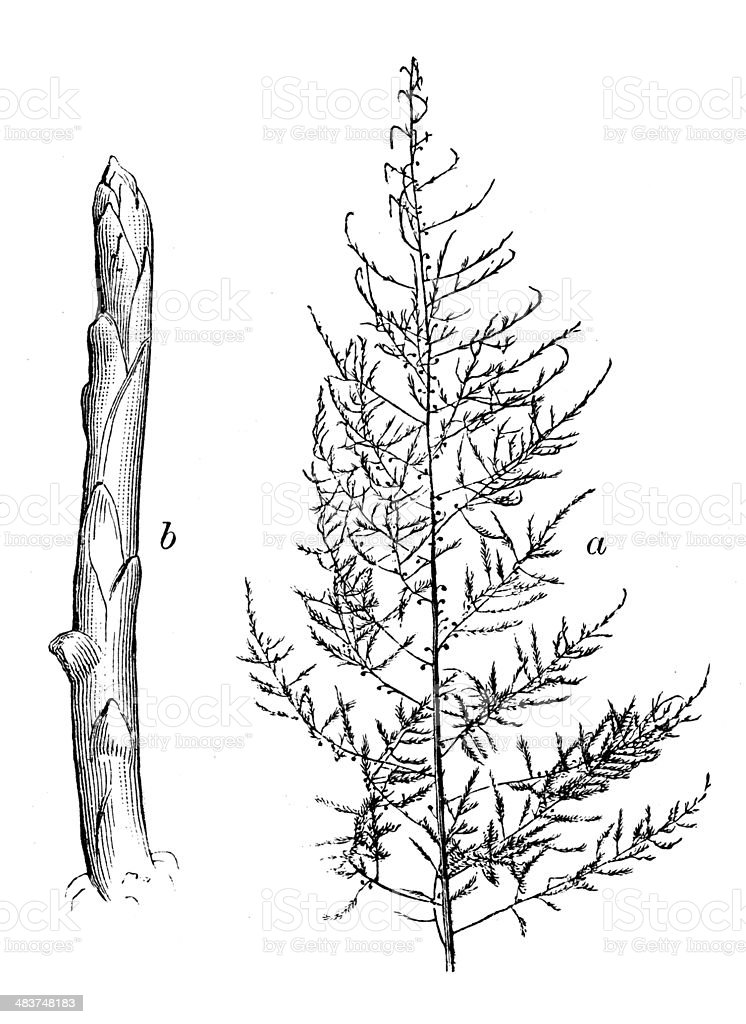 Antique illustration of Asparagus officinalis vector art illustration