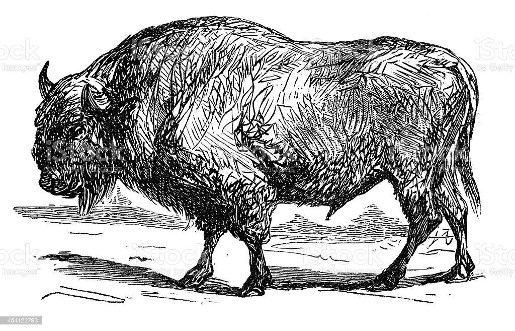 Antique illustration of aurochs, urus, ure (Bos primigenius) royalty-free stock vector art