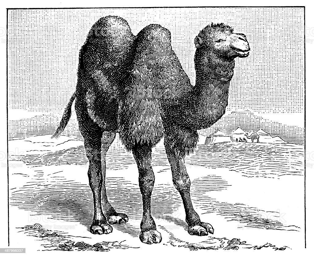 Antique illustration of Bactrian camel (Camelus bactrianus) vector art illustration
