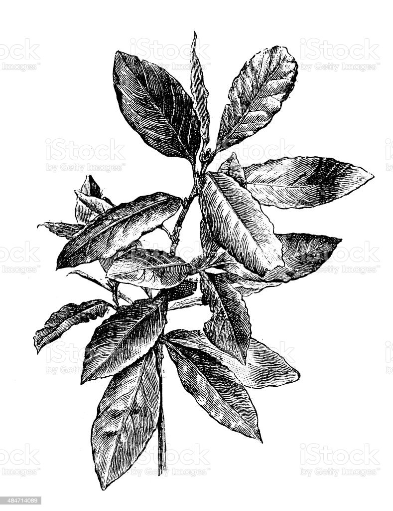 Antique illustration of bay laurel, sweet bay (Laurus Nobilis) vector art illustration