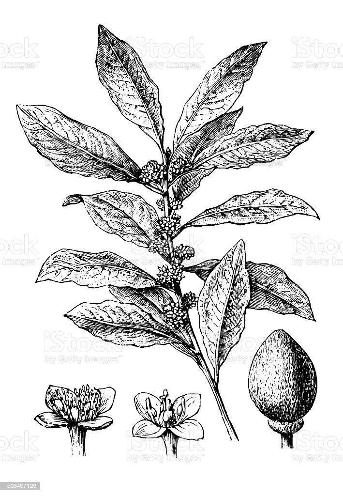 Antique illustration of bay laurel, sweet bay (Laurus Nobilis) vector art illustration
