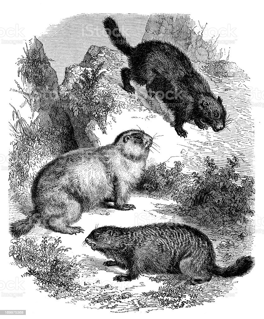 Antique illustration of beavers royalty-free stock vector art