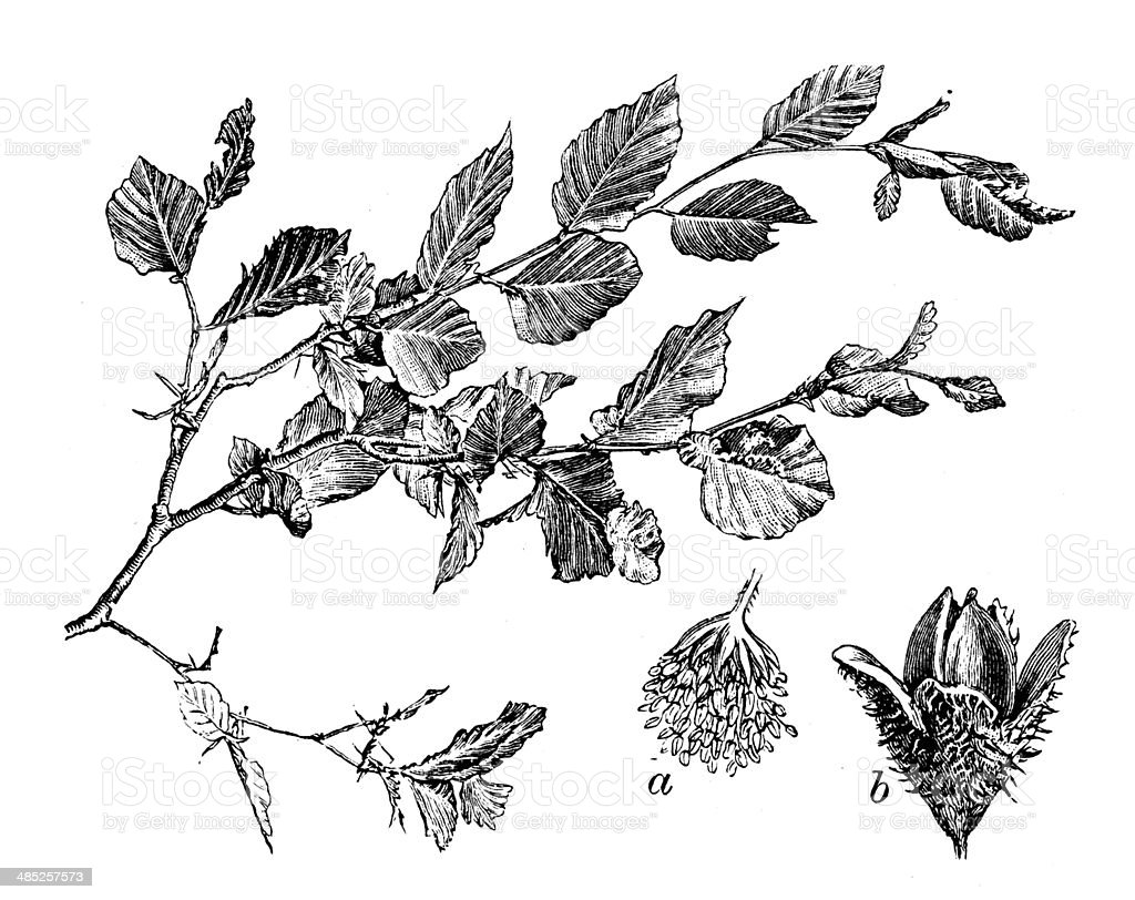 Antique illustration of beech vector art illustration