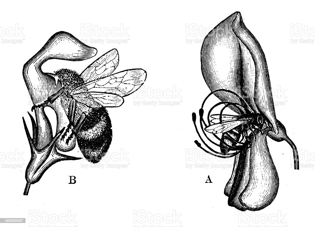 Antique illustration of bees in flowers vector art illustration