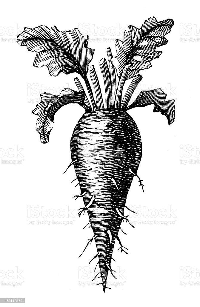 Antique illustration of beetroot vector art illustration