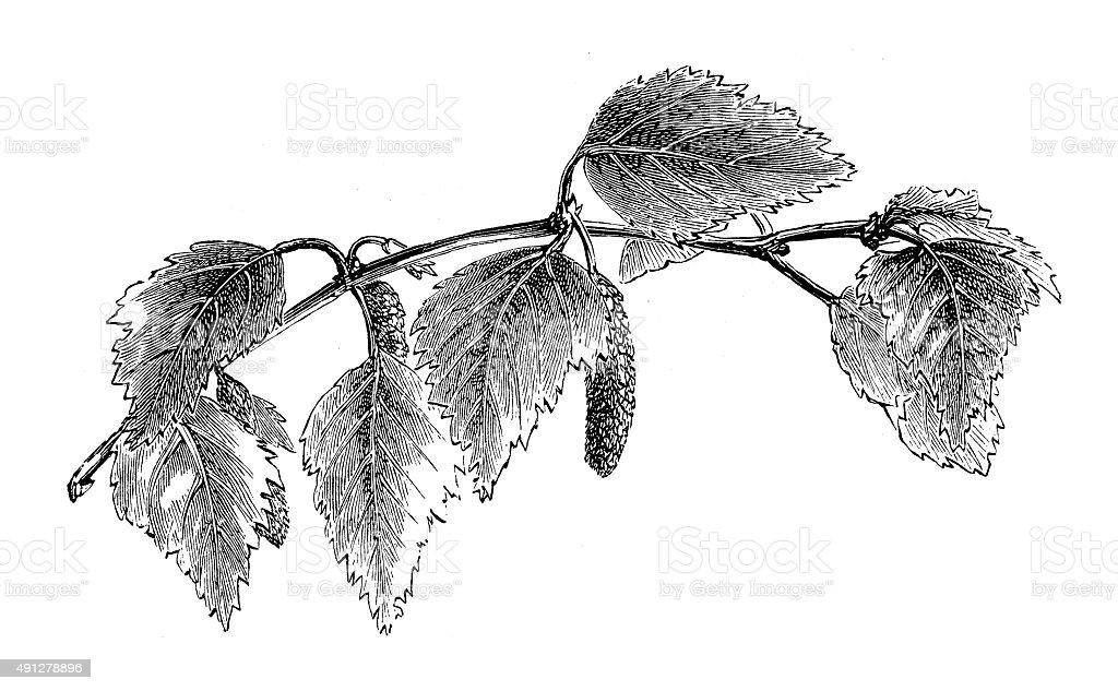 Antique illustration of birch vector art illustration