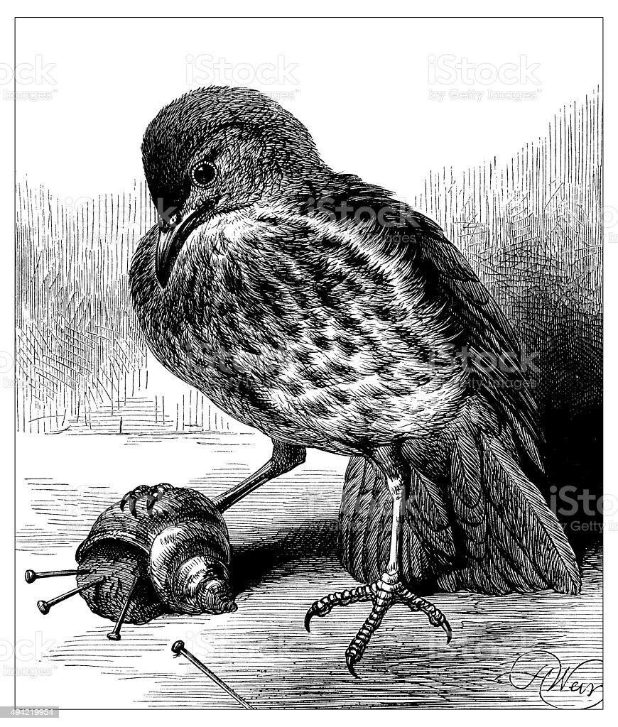 Antique illustration of bird with snail vector art illustration
