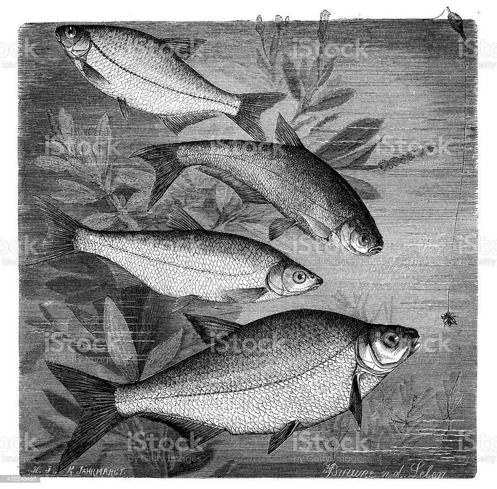 Antique illustration of breams vector art illustration