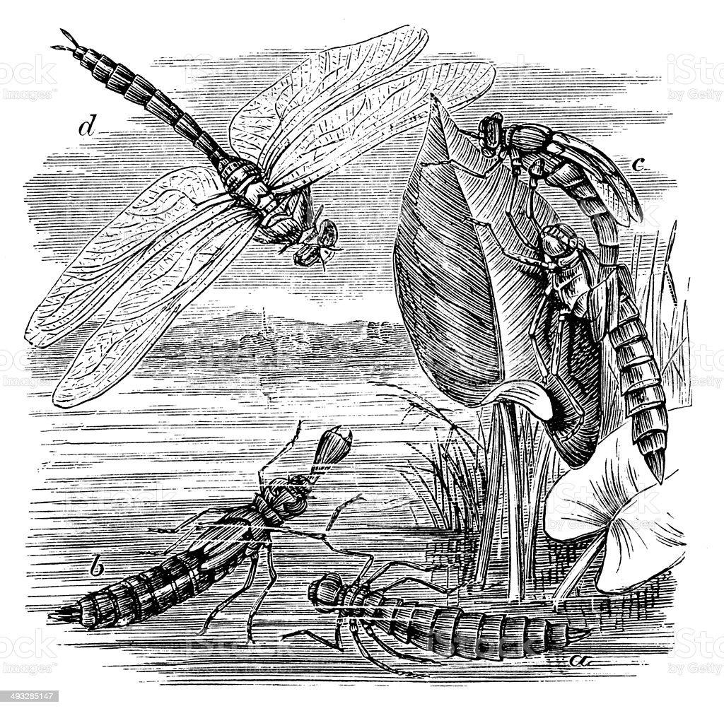 Antique illustration of Brown Hawker (Aeshna grandis) dragonfly vector art illustration