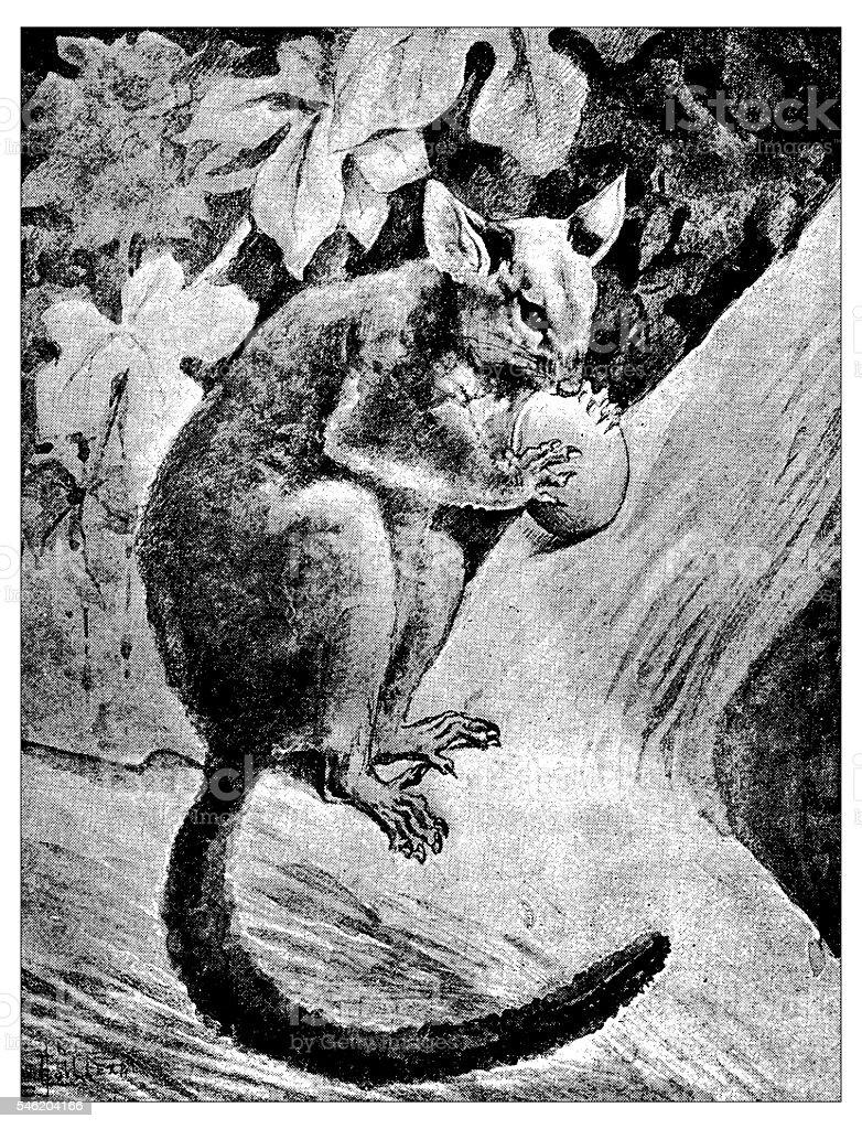 Antique illustration of brushtail possum (Trichosurus vulpecula) vector art illustration