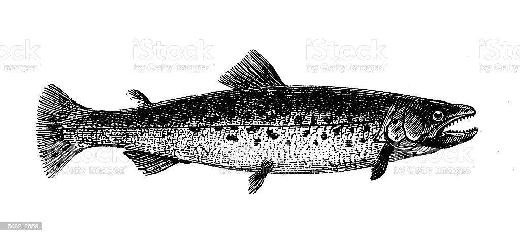Antique illustration of bull trout (Salvelinus confluentus) vector art illustration