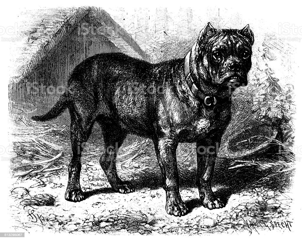 Antique illustration of Bullenbeisser (German Bulldog) vector art illustration