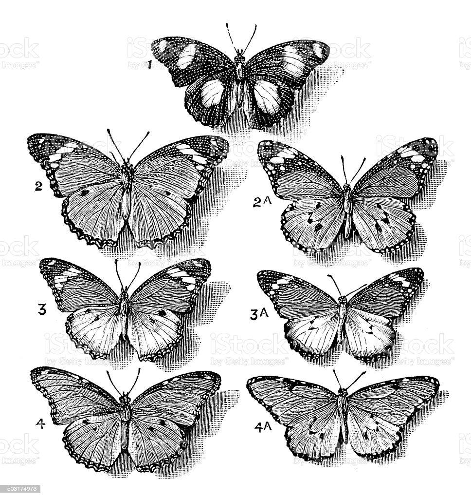 Antique illustration of butterflies vector art illustration
