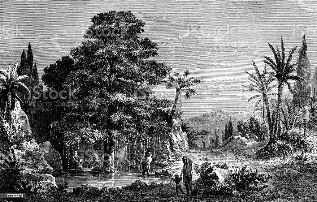 Antique illustration of Caesalpinia pluviosa (False Brazilwood) vector art illustration