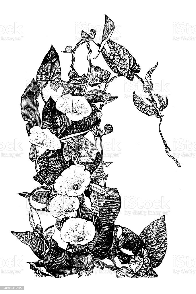 Antique illustration of Calystegia sepium (larger bindweed, hedge bindweed) royalty-free stock vector art