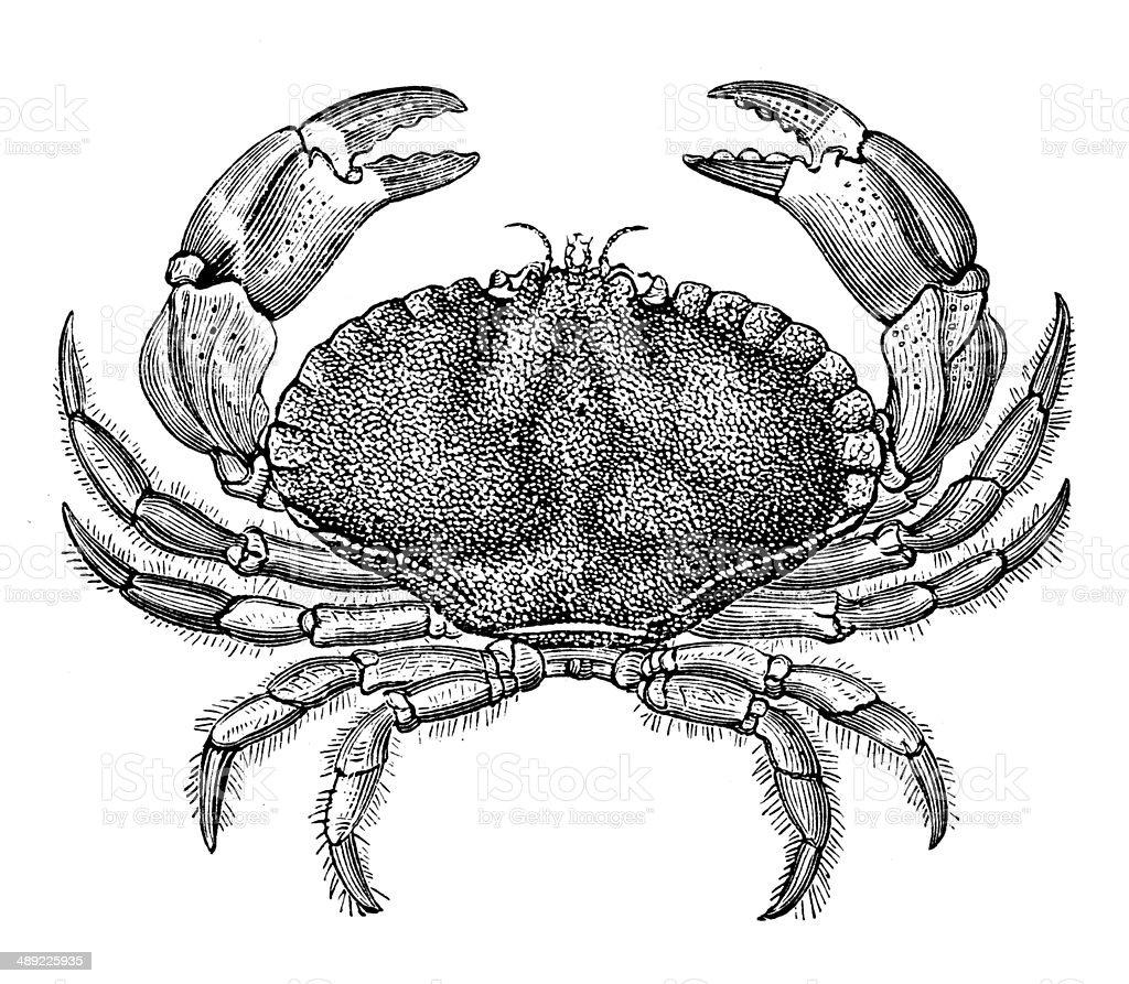 Antique illustration of Cancer pagurus (edible crab or brown crab) vector art illustration