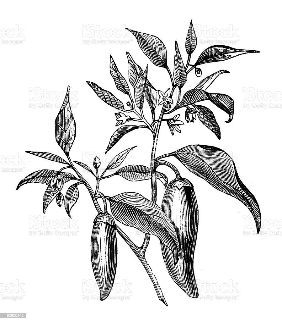 Antique illustration of Capsicum annuum pepper vector art illustration