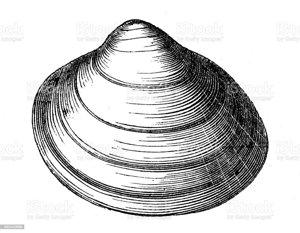 Antique illustration of cardium groenlandicum shell seashell conch shell vector art illustration
