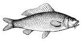 Antique illustration of carp (Cyprinus Carpio)