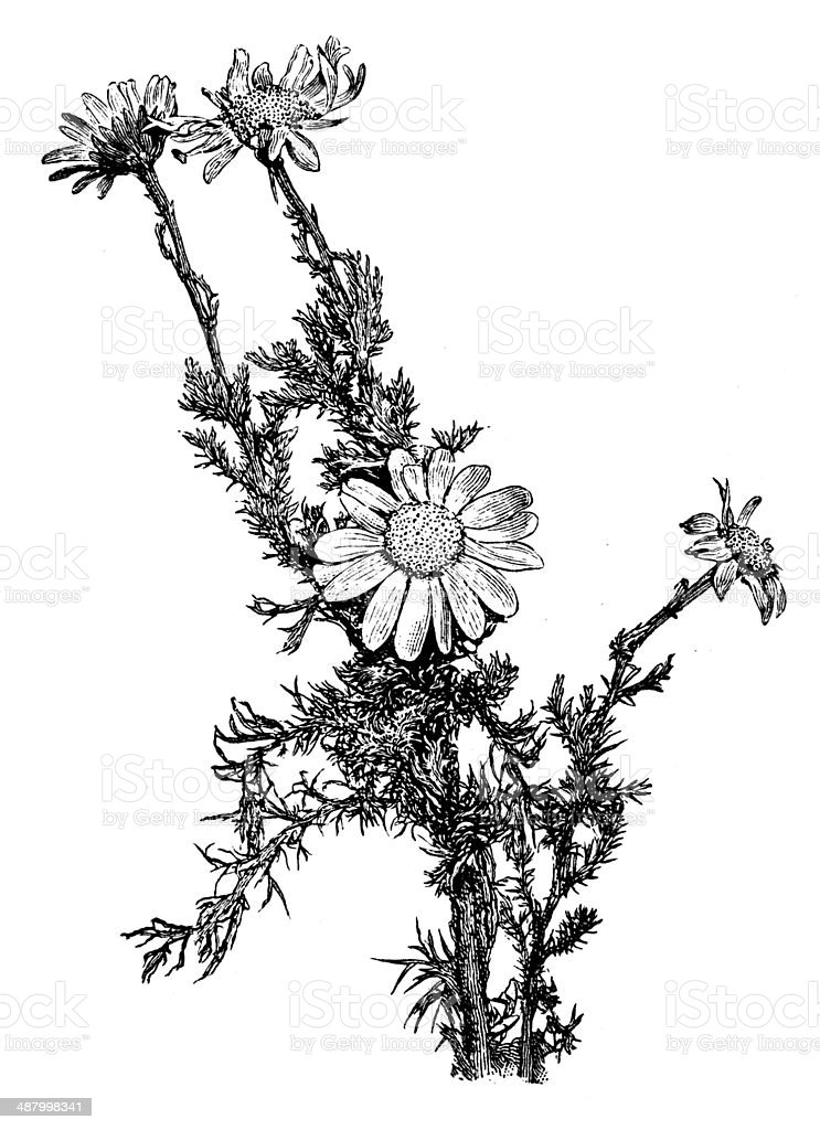 Antique illustration of chamomile (Chamaemelum nobile, Anthemis nobilis) vector art illustration