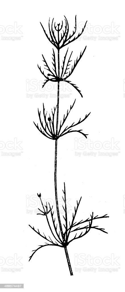 Antique illustration of chara (algae) vector art illustration