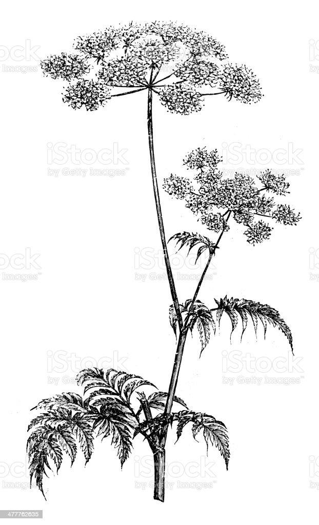 Antique illustration of Chervil (Anthriscus cerefolium) vector art illustration