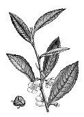 Antique illustration of China Tea (Camellia sinensis)