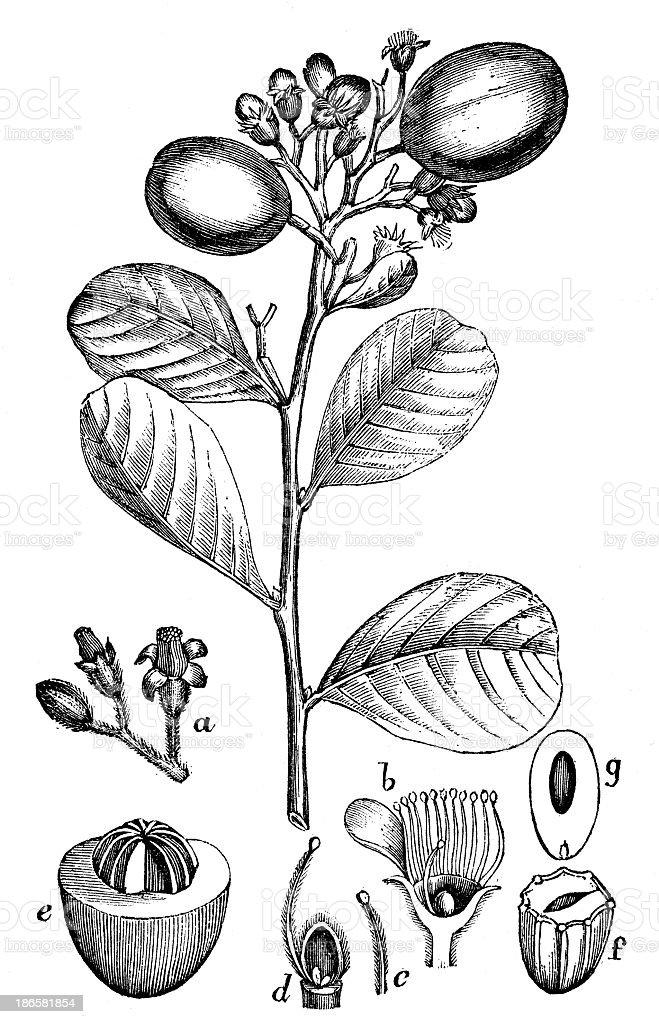 Antique illustration of Chrysobalanus icaco (cocoplum, Paradise Plum or icaco) vector art illustration