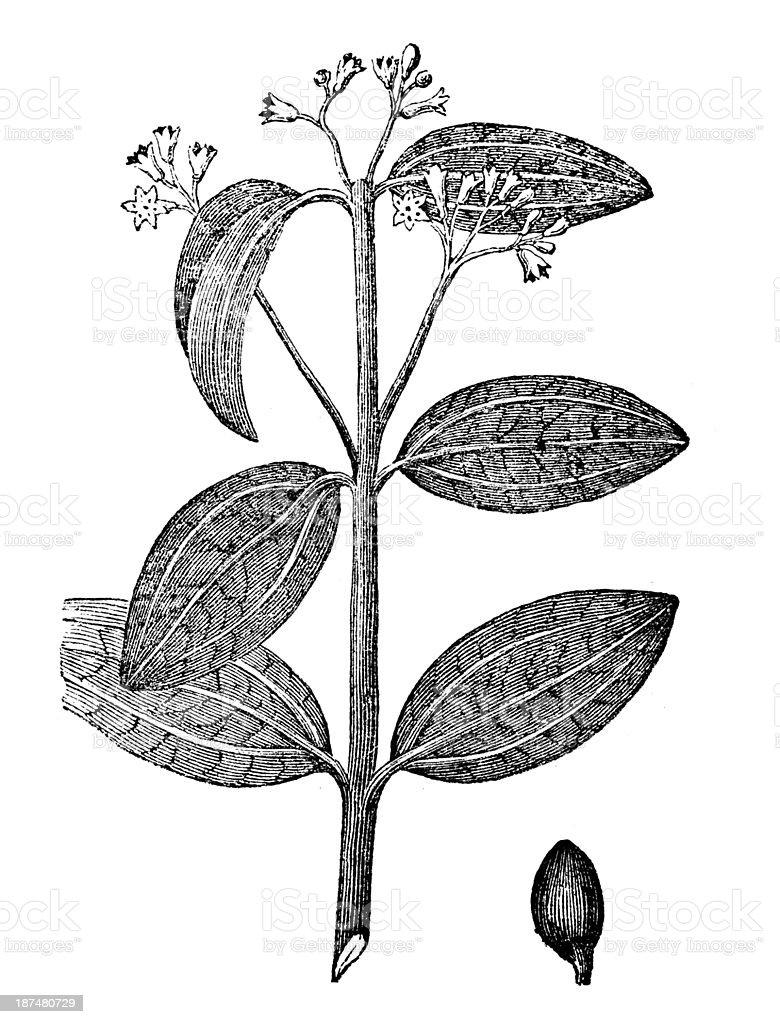 Antique illustration of Cinnamomum verum (Ceylon cinnamon) vector art illustration