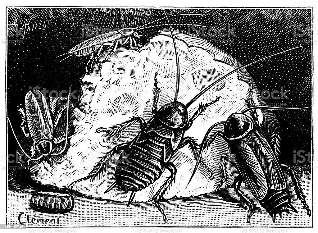 Antique illustration of cockroaches on food vector art illustration