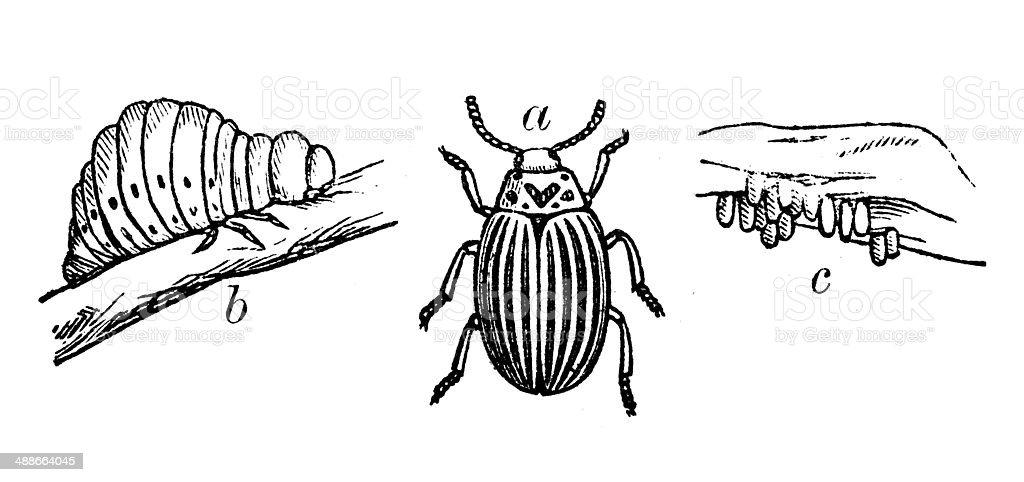 Antique illustration of Colorado potato beetle (Leptinotarsa decemlineata) vector art illustration
