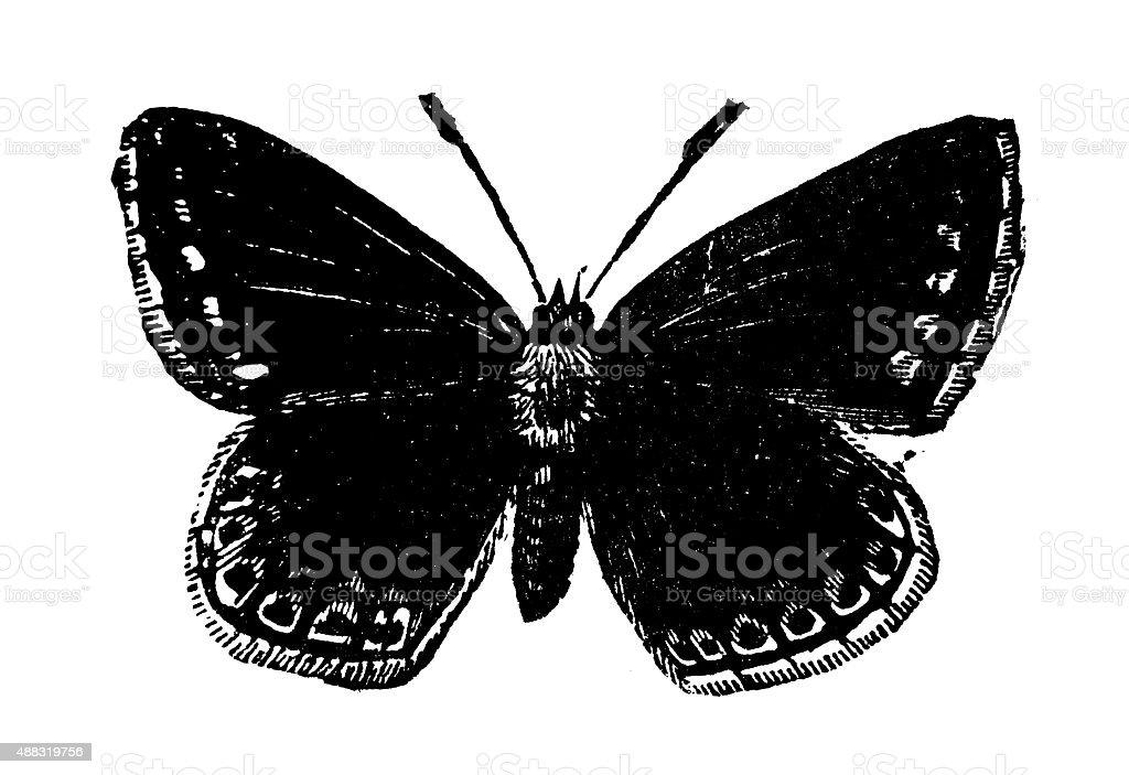Antique illustration of Common Blue butterfly female (Polyommatus icarus) vector art illustration