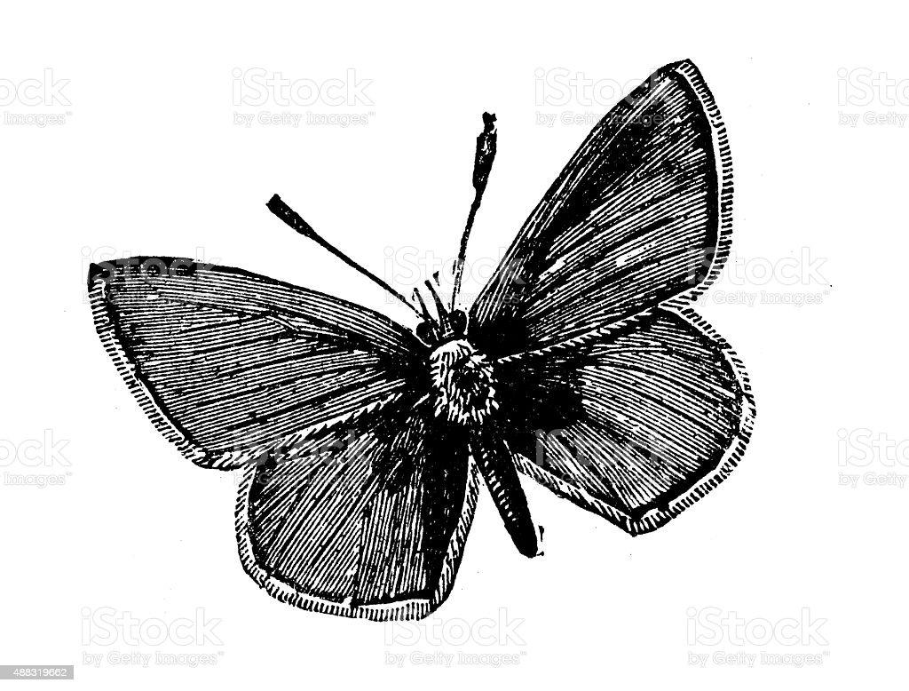 Antique illustration of Common Blue butterfly (Polyommatus icarus) vector art illustration
