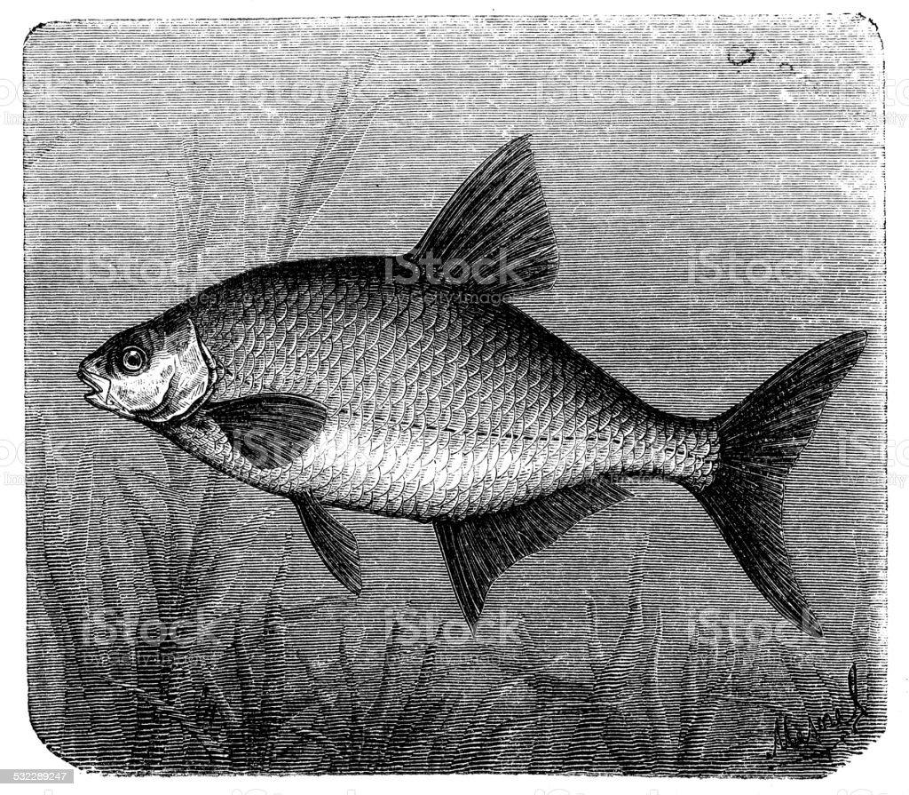 Antique illustration of common bream (Abramis brama) vector art illustration