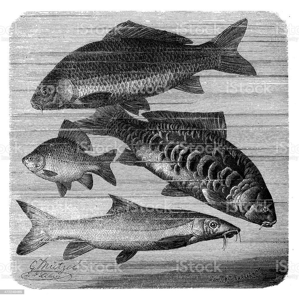 Antique illustration of common carp, crucian carp and common barbel vector art illustration