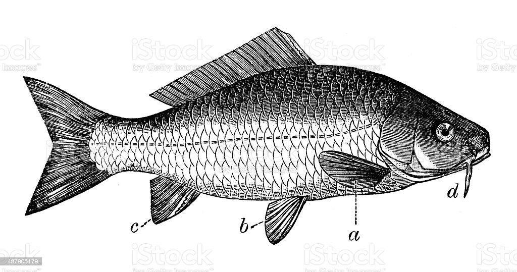 Antique illustration of common carp (Cyprinus carpio) vector art illustration