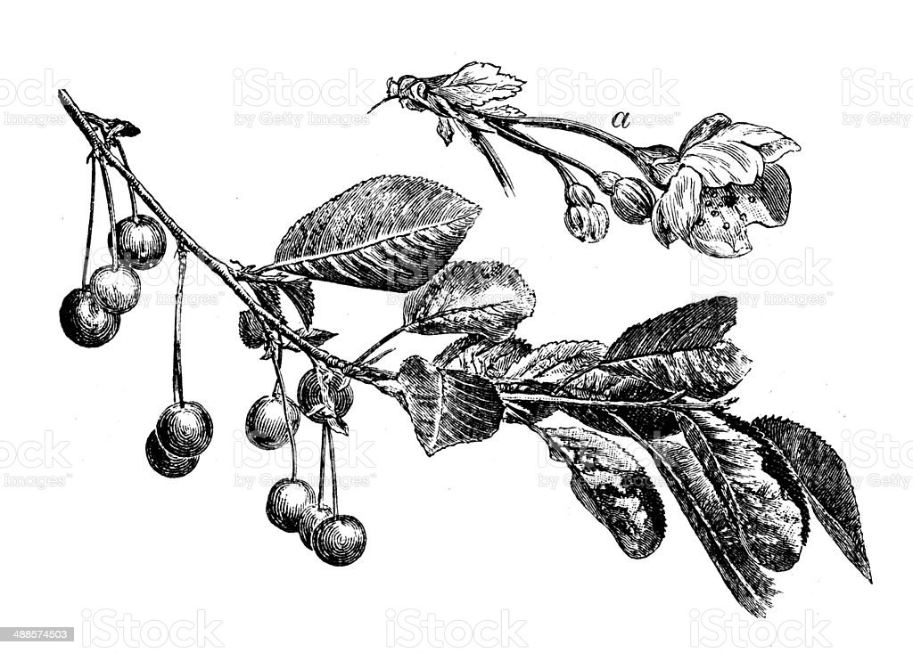Antique illustration of common cherry tree vector art illustration