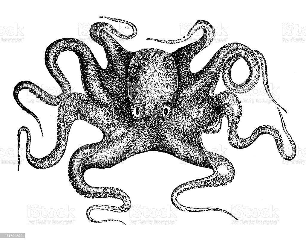 Antique illustration of common octopus (Octopus vulgaris) royalty-free stock vector art