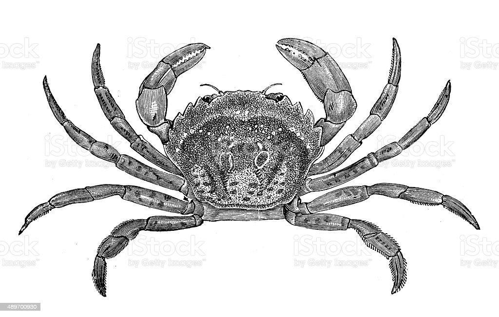 Antique illustration of common shore crab (Carcinus maenas) vector art illustration